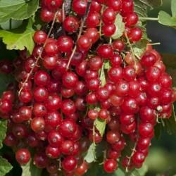 Semillas de Grosella roja, Grosellero rojo 1.95 - 4
