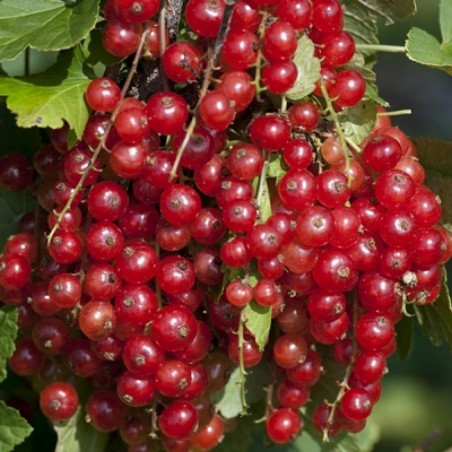 Redcurrant Seeds (Ribes rubrum) 1.95 - 4
