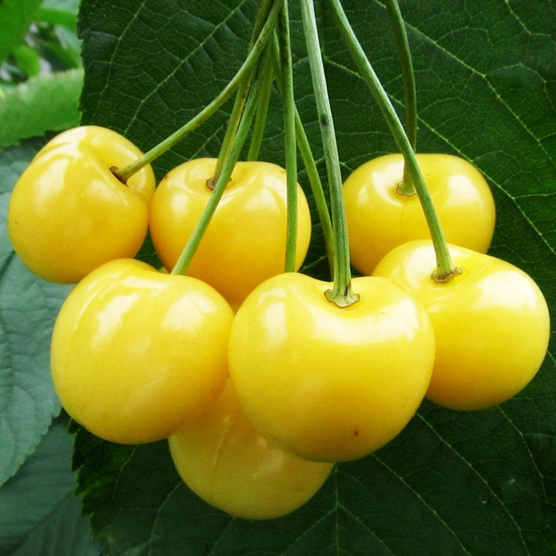 Yellow Sweet cherry Seeds(Prunus avium) 2.05 - 1