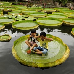 Giant Water Lily Lotus Seeds (Victoria amazonica) 2.25 - 11