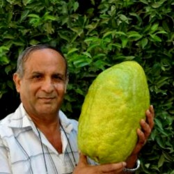 Giant Corsican Citron Seeds - 4 kg fruit (Citrus medica Cedrat) 3.7 - 1