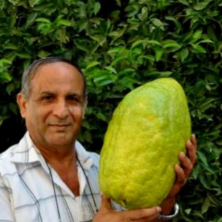 Giant Citron Frön 4 kg frukt (Citrus medica Cedrat) 3.7 - 1