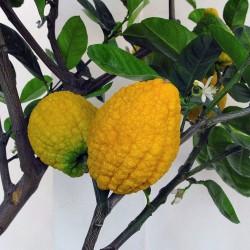 Giant Corsican Citron Seeds - 4 kg fruit (Citrus medica Cedrat) 3.7 - 2