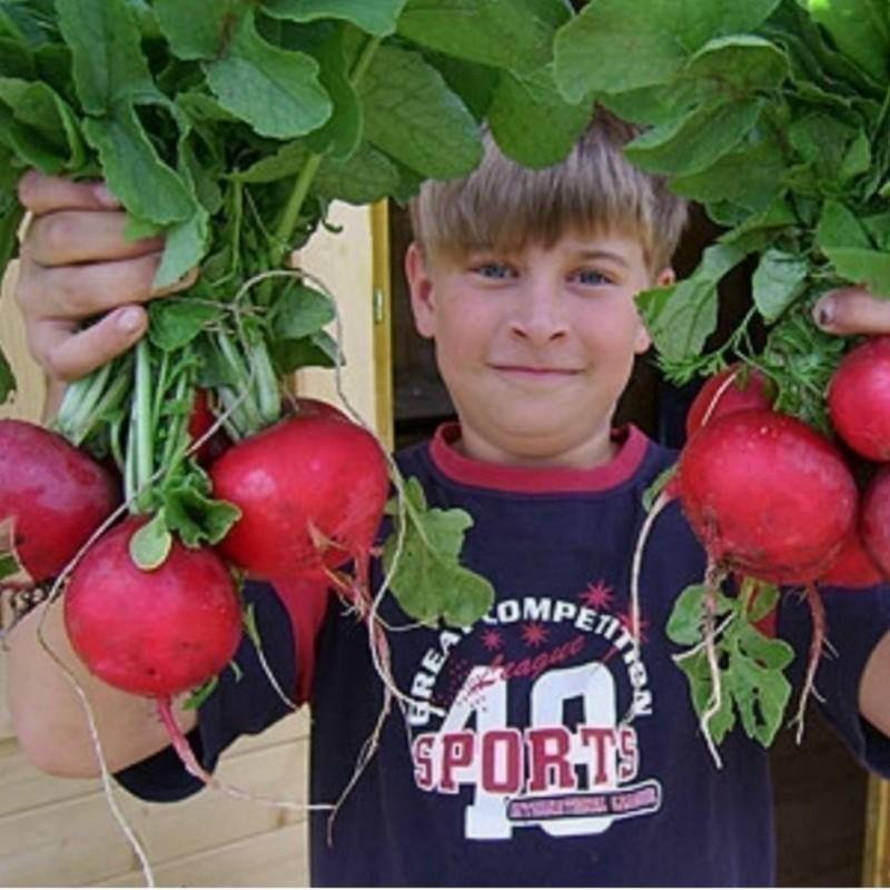"Giant Radish Seeds ""ROSSO GIGANTE"" 1.95 - 2"