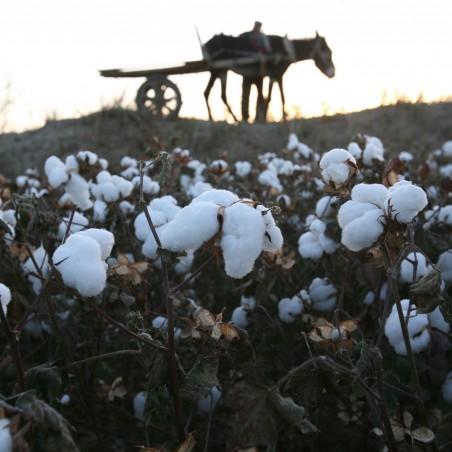 Echte Baumwolle Samen 2 - 2