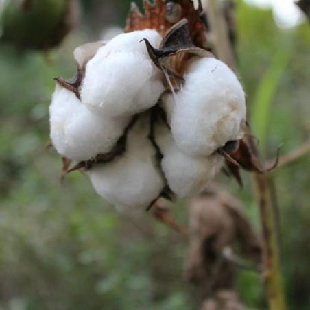 Sementes de Algodão (Gossypium herbaceum)