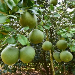 Семена Поме́ло, Помпе́льмус, Шеддок (Cītrus māxima) 1.95 - 1