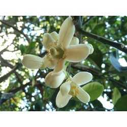 Pomelo Samen (Citrus grandis) Frosthart 1.95 - 2