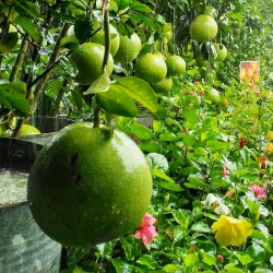 Pomelo Samen (Citrus grandis) Frosthart 1.95 - 3