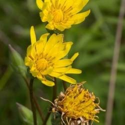 Sementes de Escorcioneira Scorzonera hispanica 1.95 - 1