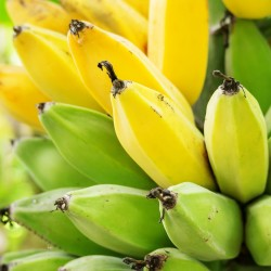 Red Tiger - Darjeeling Banana Seeds 2.25 - 3