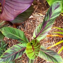 Darjeeling-Banane Samen RED TIGER 2.25 - 2