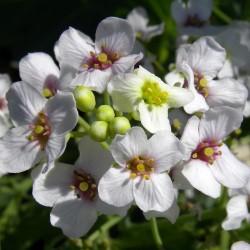 Rastan Seme - Cudotvorna biljka (Crambe maritima) 1.55 - 2