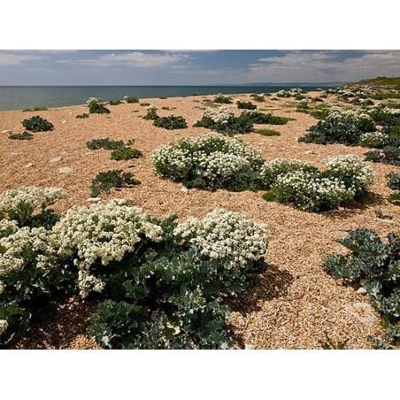 Sea kale, Sea cole, Seakale Seeds (Crambe maritima) 1.55 - 3