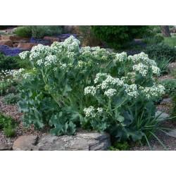 Rastan Seme - Cudotvorna biljka (Crambe maritima) 1.55 - 4