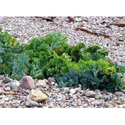 Semillas de Seakale (Crambe maritima) 1.55 - 5