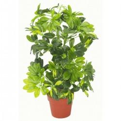 Seflera Seme (Schefflera arboricola) 2.15 - 3