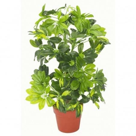 Kleine Strahlenaralie Samen (Schefflera arboricola) 2.15 - 3
