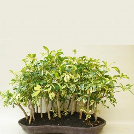 Kleine Strahlenaralie Samen (Schefflera arboricola) 2.15 - 4