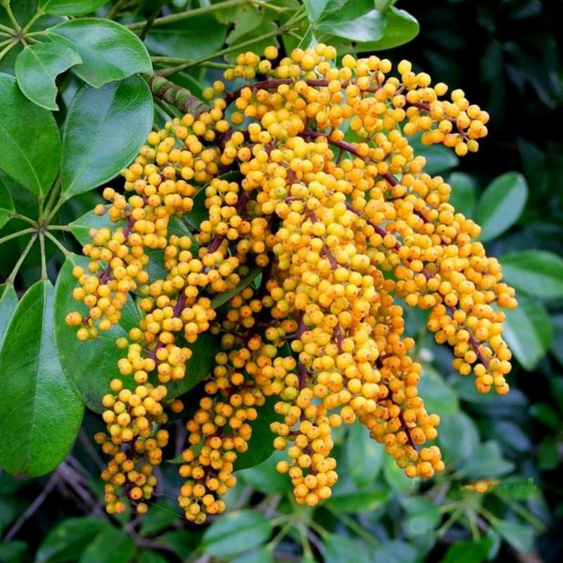 Graines de Arbre ombrelle (Schefflera actinophylla) 2.15 - 8