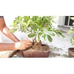 Seflera Seme (Schefflera arboricola) 2.15 - 5