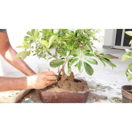 Graines de Arbre ombrelle (Schefflera actinophylla) 2.15 - 5