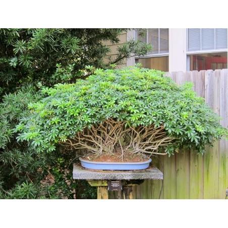 Seflera Seme (Schefflera arboricola) 2.15 - 6