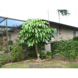 Kleine Strahlenaralie Samen (Schefflera arboricola) 2.15 - 7