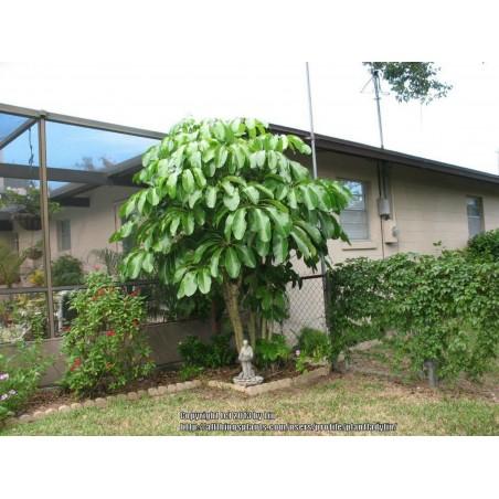 Paraplyaralia Frö (Schefflera arboricola) 2.15 - 7