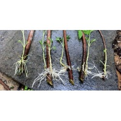 Fast Rooting Hormone Powder, Cuttings Rooting, Seeds Germination 1.65 - 4