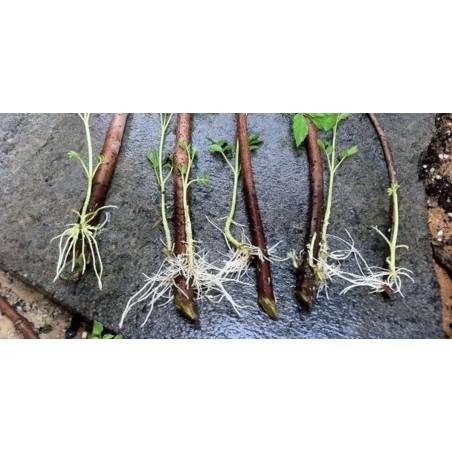 Hormone d'enracinement rapide, les boutures s'enracinant, améliorent la germination des graines 1.65 - 4