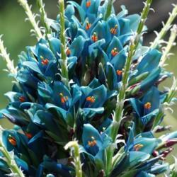 Semi blu di Puya (Puya...
