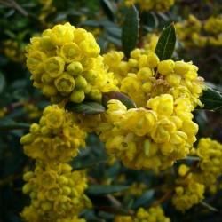 Semi di Crespino di Giuliana, Crespino sempreverde, Crespino cinese 1.5 - 3