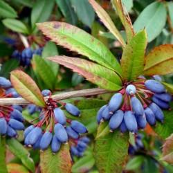 Semi di Crespino di Giuliana, Crespino sempreverde, Crespino cinese 1.5 - 4
