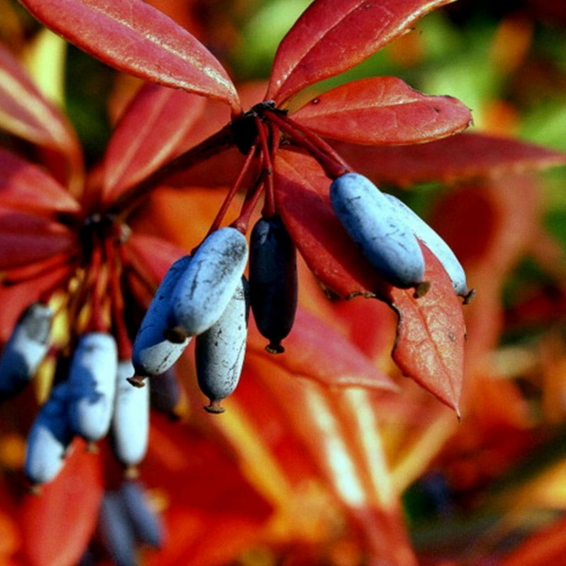 Wintergreen barberry or Chinese barberry Seeds 1.5 - 5