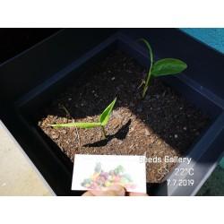 Thai Ingefära Frö (Alpinia galangal) 1.95 - 6