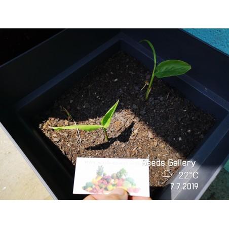 Thai-Ingwer, großer Galgant Samen (Alpinia galanga) 1.95 - 6
