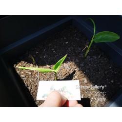 Thai-Ingwer, großer Galgant Samen (Alpinia galanga) 1.95 - 7