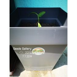 Thai-Ingwer, großer Galgant Samen (Alpinia galanga) 1.95 - 8