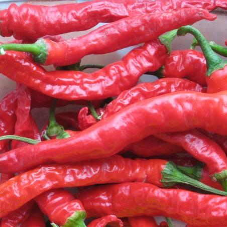 SIGARETTA süße Chili Samen 1.45 - 1
