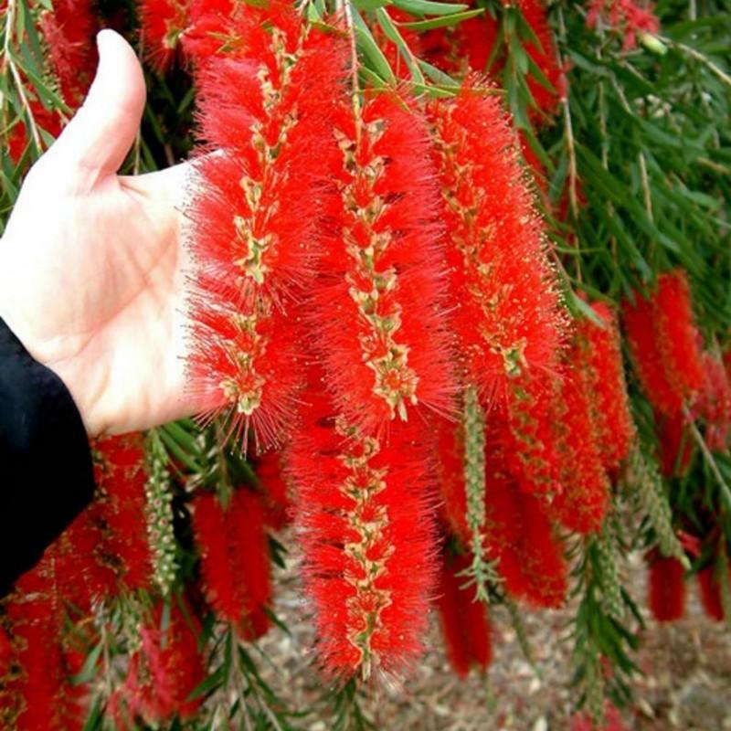 Weeping Bottlebrush Seeds 2.5 - 5