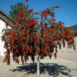 Träd – Bonsai Frön Callistemon viminalis 2.5 - 1