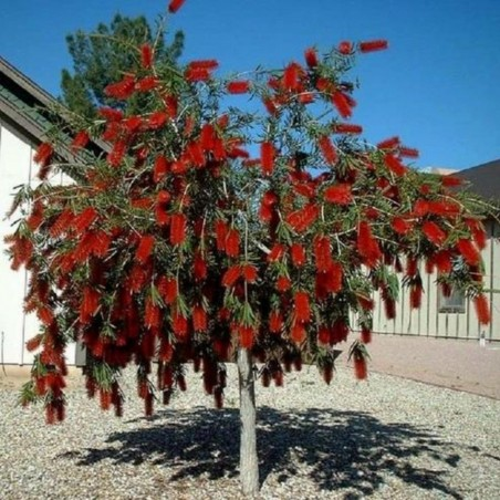 Weeping Bottlebrush Seeds 2.5 - 1