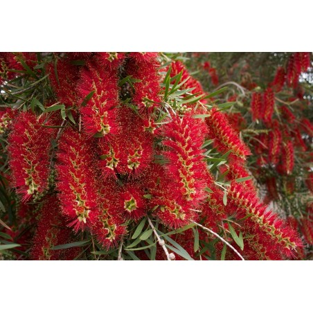 Weeping Bottlebrush Seeds 2.5 - 2