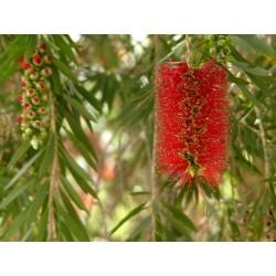 Träd – Bonsai Frön Callistemon viminalis 2.5 - 3