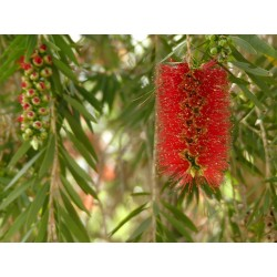 Weeping Bottlebrush Seeds 2.5 - 3