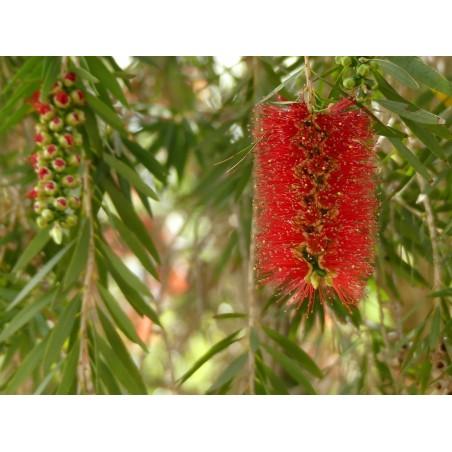 Zylinderputzer Samen, Weeping Bottlebrush 2.5 - 3