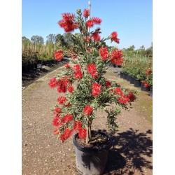 Träd – Bonsai Frön Callistemon viminalis 2.5 - 4