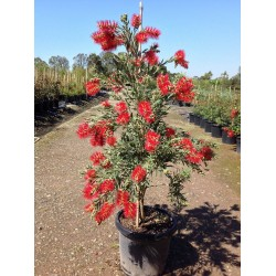 Weeping Bottlebrush Seeds 2.5 - 4