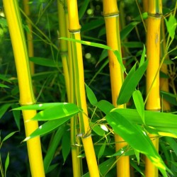 Zuti Bambus Seme, Clumping...